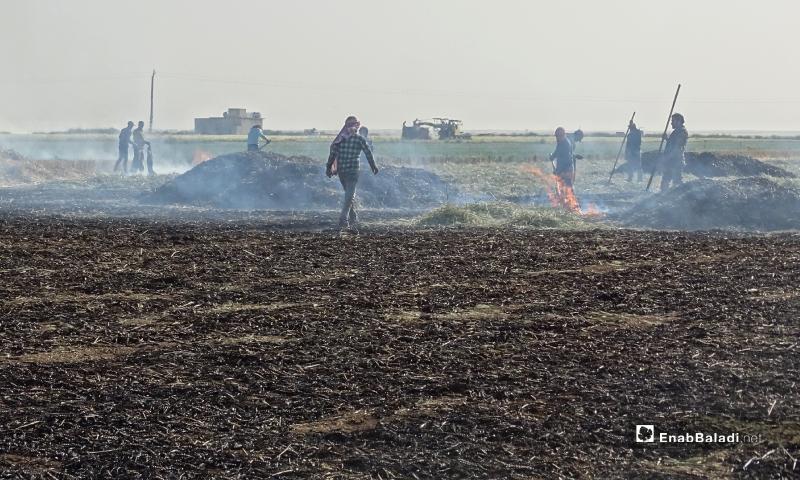 عمليات حرق القمح قبل نضجه لتحضير مادة الفريكة في بلدة احتيمالات شمالي حلب - 18 أيار 2020 (عنب بلدي/ عبد السلام مجعان)