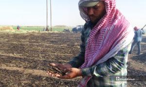 حبوب قمح بعد تعرضها لحرق قبل نضجها في يد مزارع في بلدة احتيمالات شمالي حلب - 18 أيار 2020 (عنب بلدي/ عبد السلام مجعان)