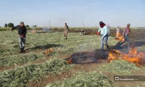 عمال يحرقون جزء من محصول القمح قبل نضجه لتحضير مادة الفريكة في بلدة احتيمالات شمالي حلب - 18 أيار 2020 (عنب بلدي/ عبد السلام مجعان)