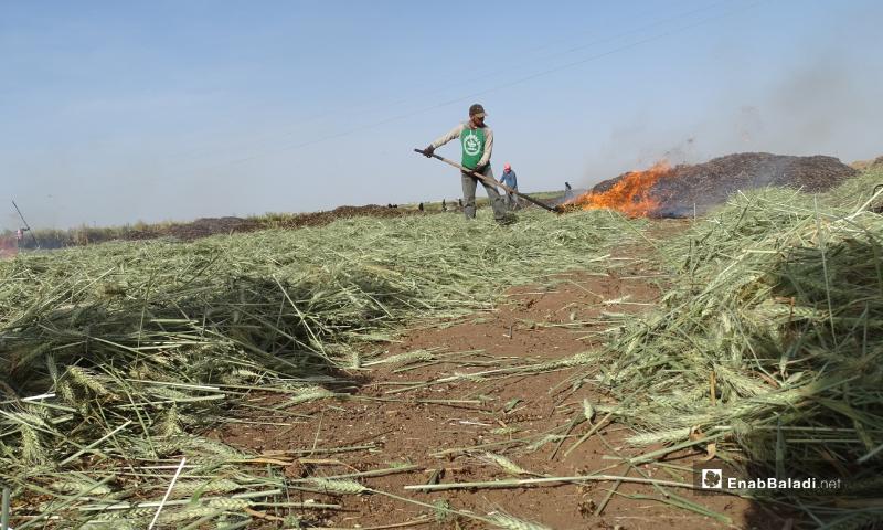 عامل يحرق جزء من محصول القمح قبل نضجه لتحضير مادة الفريكة في بلدة احتيمالات شمالي حلب - 18 أيار 2020 (عنب بلدي/ عبد السلام مجعان)