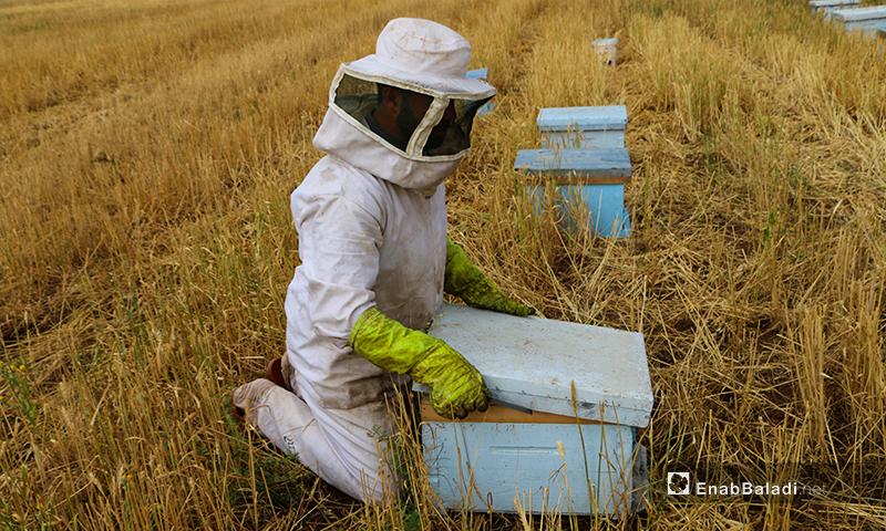 يقف النحال عند الفحص وراء الخلية بعد عملية التدخين فاسحًا المجال أمام النحل للخروج