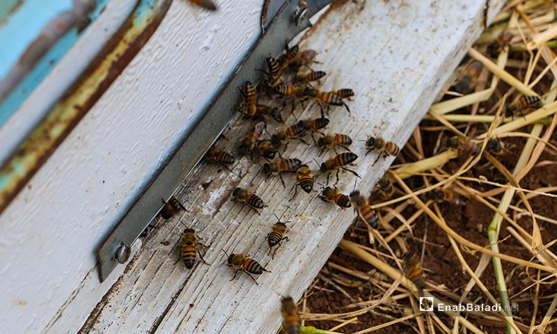 يتجمع النحل العامل (الشغالات) على باب الخلية يحرس البعض الخلية والبعض الآخر إما عائد من المرعى أو خارج إليه أو للتهوية