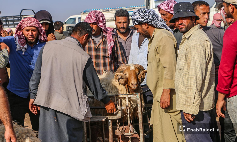 وزن الخاروف في سوق الأغنام ببلدة أرشاف برف حلب الشمالي - 27 تموز 2020 (عنب بلدي/ عبد السلام مجعان)