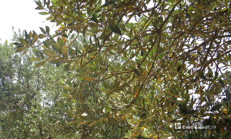 مرض يصيب أشجار الزيتون في درعا - حزيران 2020 (عنب بلدي)