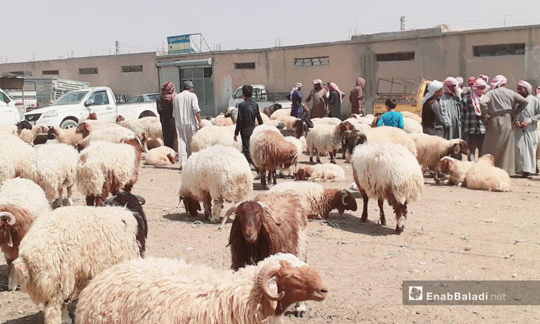 رجل وسط سوق الغنم في مدينة الرقة قبيل عيد الأضحى - 29 تموز 2020 (عنب بلدي/عبد العزيز الصالح)