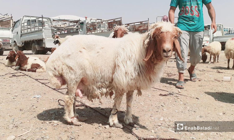 سوق الغنم في مدينة الرقة قبيل عيد الأضحى - 29 تموز 2020 (عنب بلدي/عبد العزيز الصالح)