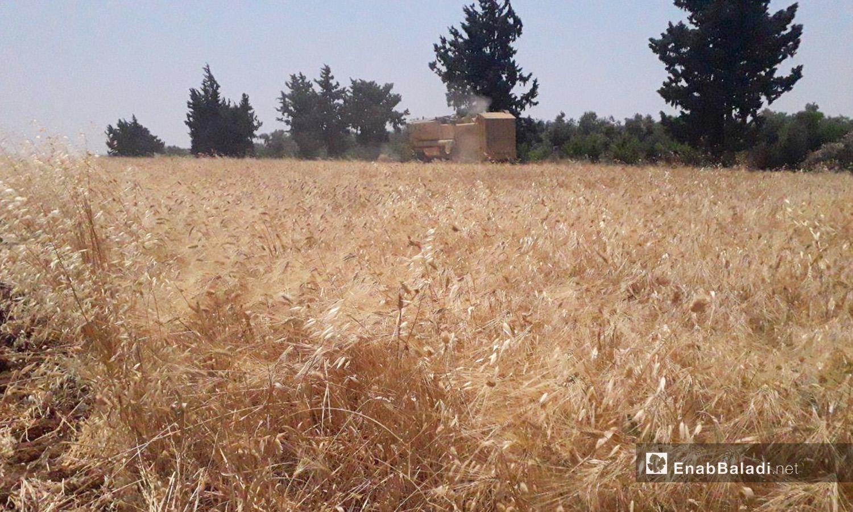 حصاد القمح في موسم الحصاد بريف درعا الغربي - 5 تموز 2020 (عنب بلدي/حليم محمد)