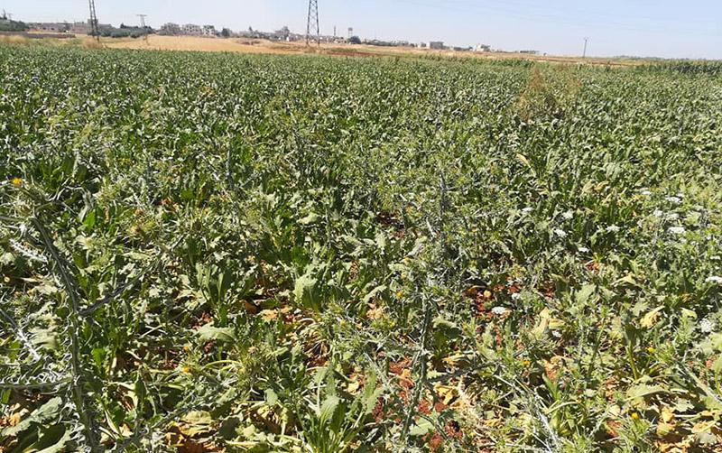 الأراضي الزراعية في ريف حماه (اتحاد الفلاحين في حماه)