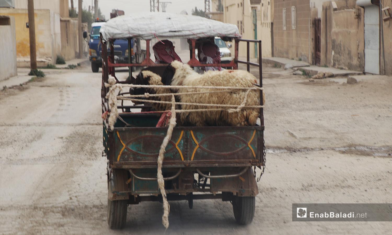 خراف محملة على عربة في مدينة الرقة - أيلول 2020 (عنب بلدي/ عبد العزيز الصالح)