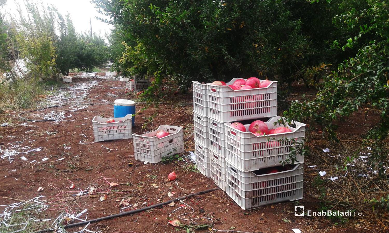 تصف ثمار الرمان في الصناديق البلاستيكية لنقلها من البساتين في الريف الغربي لمحافظة درعا للأسواق  - 6 تشرين الثاني 2020 (عنب بلدي/ حليم محمد)
