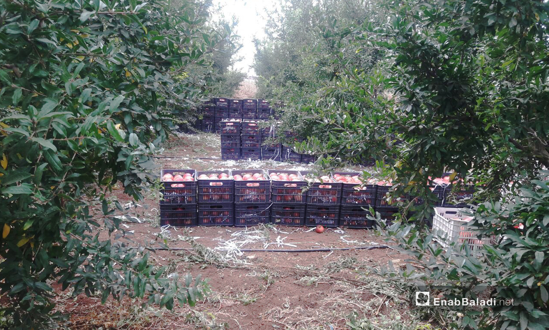 يصف المزارعون الصناديق البلاستيكية السوداء بين أشجار الرمان في بساتين ريف درعا الغربي  - 6 تشرين الثاني 2020 (عنب بلدي/ حليم محمد)