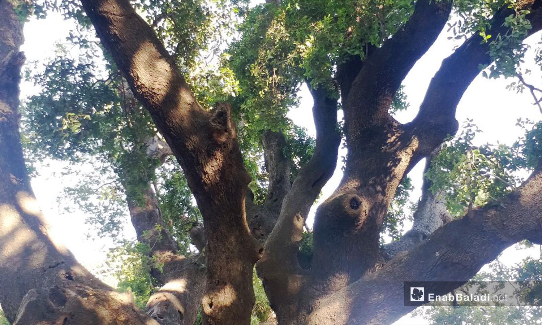 تحمي أشجار جباتا الخشب حيوانات متنوعة ما بين السناجب والطيور كالبومة والشحرور - تشرين الثاني 2020 (عنب بلدي)