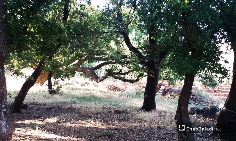 اضطر سكان قرى ريف القنيطرة الشمالي للاحتطاب من المحميات الطبيعية ومنها محمية جباتا الخشب التي لم تتعرض للتخريب مثل غيرها - تشرين الثاني 2020 (عنب بلدي)