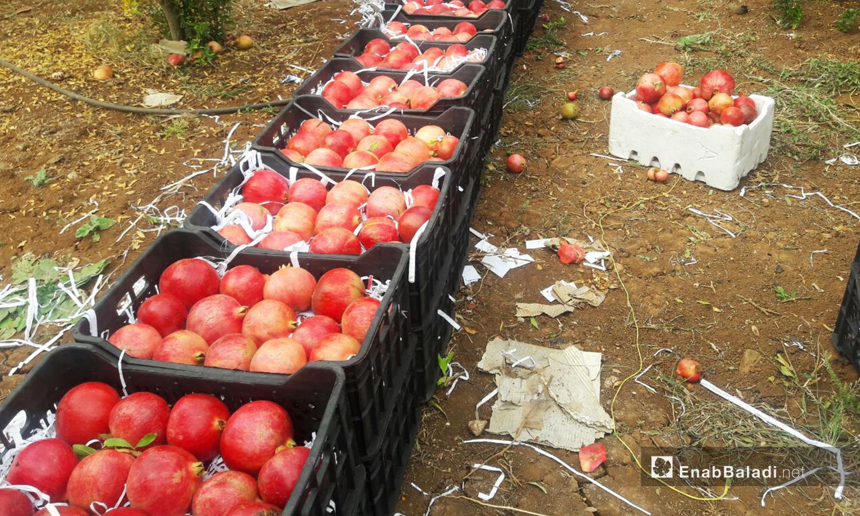 يراعي المزارعون عند صف الثمار الحفاظ على سلامتها من التهشيم  - 6 تشرين الثاني 2020 (عنب بلدي/ حليم محمد)