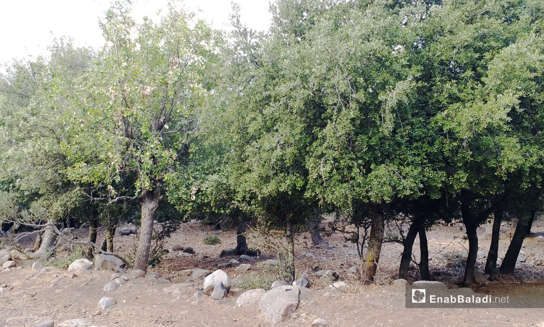 تضم محمية جباتا الخشب 30 ألف شجرة تتنوع ما بين السنديان والبلوط والملول والزعرور والخوخ البري - تشرين الثاني 2020 (عنب بلدي)