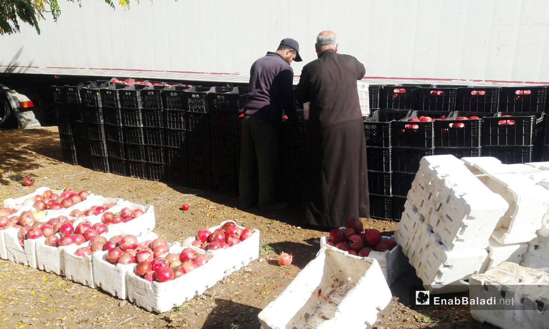 يعدل المزارعون طريقة صف ثمار الرمان لتجهيزها للنقل إلى البرادات  - 6 تشرين الثاني 2020 (عنب بلدي/ حليم محمد)