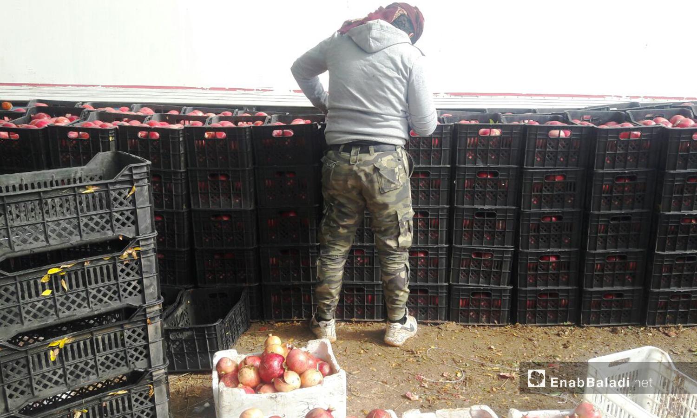 يقف عامل للاعتناء بصف ثمار الرمان قبل نقلها بالبرادات نحو الأسواق السورية أو الأردنية بعد تصديرها  - 6 تشرين الثاني 2020 (عنب بلدي/ حليم محمد)