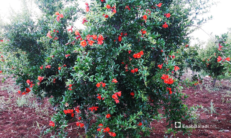 تتحول أزهار الرمان إلى ثمار في شهر أيار وتنضج خلال فصل الخريف حين تقطف وتخزن للاستهلاك خلال فصل الشتاء  - 6 أيار 2020 (عنب بلدي/ حليم محمد)
