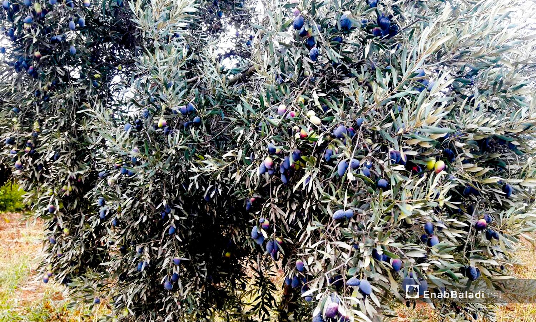 ثمار الزيتون الأسطنبولي المزروع في طفس بريف درعا تصلح للزيت فقط - 15 تشرين الثاني 2020 (عنب بلدي/ حليم محمد)