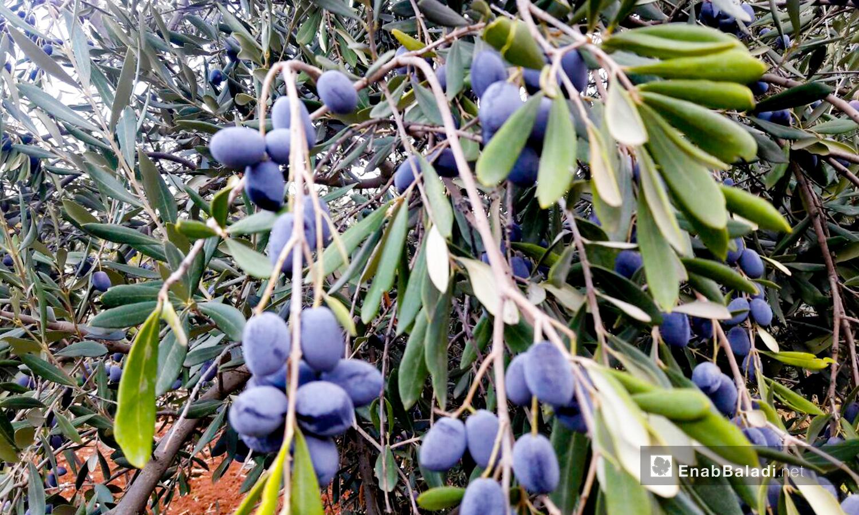 موسم الزيتون الأسطنبولي في مزارع طفس بريف درعا - 15 تشرين الثاني 2020 (عنب بلدي/ حليم محمد)