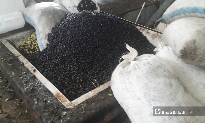 تفرغ أكياس الزيتون استعدادًا لغسلها قبل العصر بمعصرة الزيتون في حوض اليرموك بدرعا - كانون الأول 2020 (عنب بلدي/ حليم محمد)
