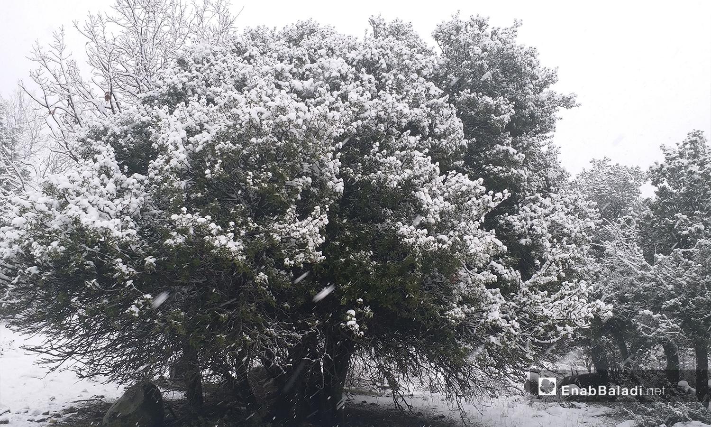 أشجار السنديان يغطيها الثلج في مدينة القنيطرة - 21 كانون الثاني 2021 (عنب بلدي)