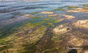 انخفاض نسبة المياه وطفو الطحالب في نهر الفرات بريف رقة الغربي - 11 أيار 2021 (عنب بلدي/حسام العمر )