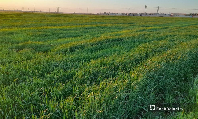 حقول القمح في ريف الرقة - آذار 2021 (عنب بلدي \ حسام العمر)