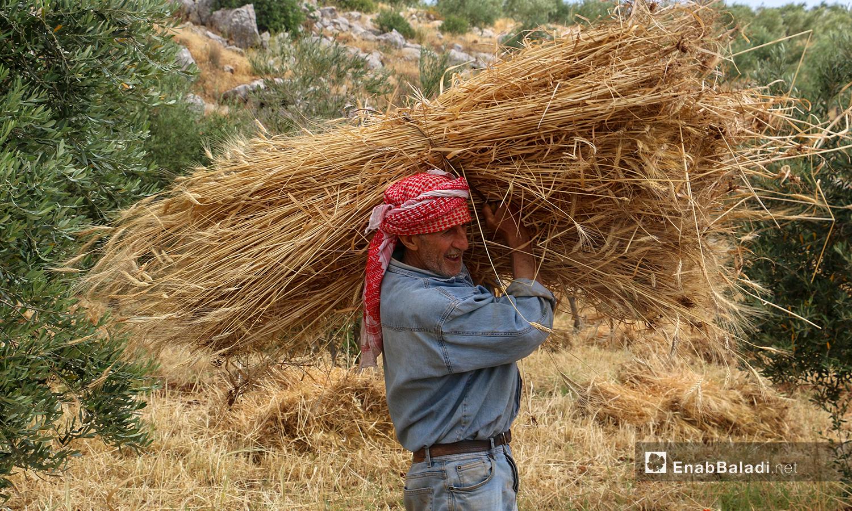 أهالي  قريتي ربعيتا ورضوة في جبل باريشا شمالي إدلب يعتمدون على المنجل في حصادهم للقمح - 30 أيار 2021 (عنب بلدي/ إياد عبد الجواد)