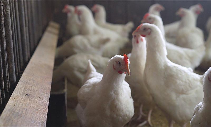 تعبيرية لدجاج في مدجنة (getty)