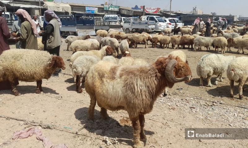 سوق الماشية في مدينة الرقة- 18 تموز 2021 (عنب بلدي/حسام العمر)