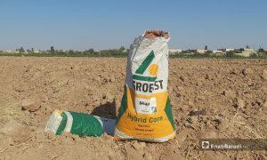 كيس بذار ذرة صفراء ضمن حقل زراعي في ريف الرقة 11 تموز 2021 (حسام العمر/عنب بلدي)