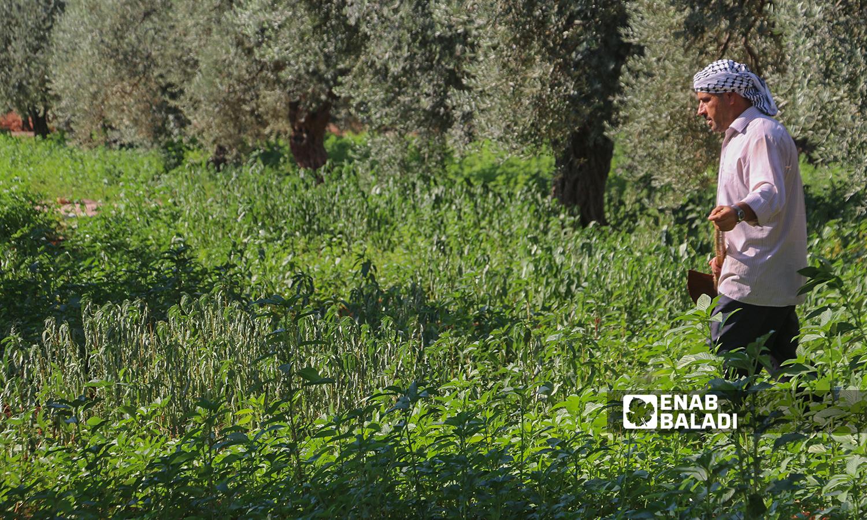 قطاف نبتة الملوخية باستخدام المنجل في ريف إدلب - 2 آب 2021 (عنب بلدي / إياد عبدالجواد)
