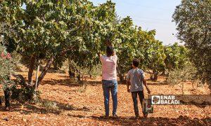 مزراع يقطف موسم التين في بلدة حربنوش في ريف إدلب - 31 تموز 2021 (عنب بلدي / إياد عبدالجواد)