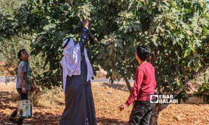 مزراع وأولاده يقطفون موسم التين في بلدة حربنوش في ريف إدلب - 31 تموز 2021 (عنب بلدي / إياد عبدالجواد)