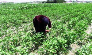 سيدة تهتم بنبات القطن في مدينة الرقة (هاوار)