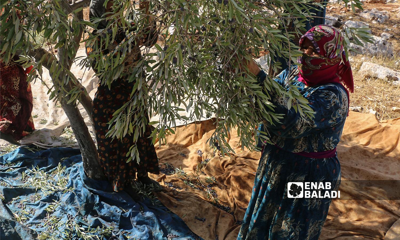 امرأة تقطف ثمار الزيتون في كفرعروق بريف إدلب  12 تشرين الأول 2021 (عنب بلدي - إياد عبد الجواد)