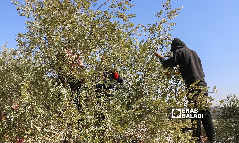 شاب يقف على سلم معدني يقوم بقطف  ثمار الزيتون في كفرعروق بريف إدلب  12 تشرين الأول 2021 (عنب بلدي - إياد عبد الجواد)