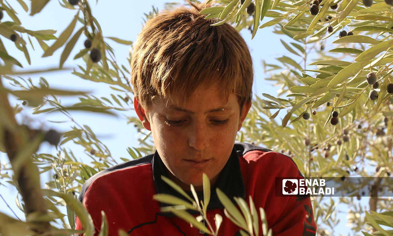 طفل يقطف ثمار شجرة الزيتون في كفرعروق بريف إدلب  12 تشرين الأول 2021 (عنب بلدي - إياد عبد الجواد)
