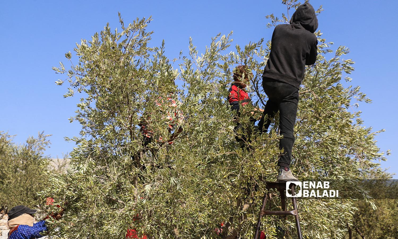 ورشة لقطاف الزيتون  مكونة من نساء وأطفال يقطفون ثمار الزيتون في كفرعروق بريف إدلب  12 تشرين الأول 2021 (عنب بلدي - إياد عبد الجواد)