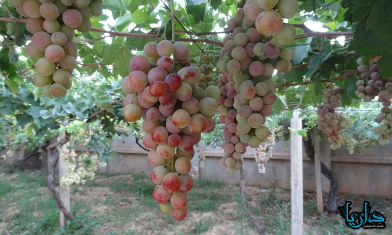 (Archives) A grapes' grove in the city of Daraya (Internet)
