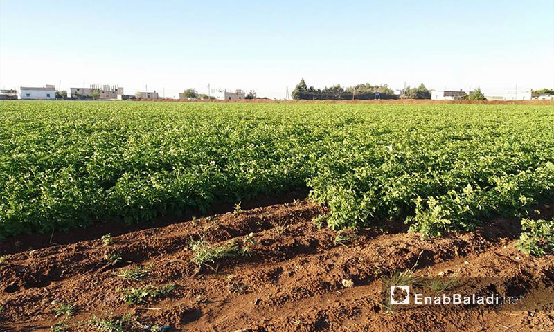 Potato cultivation in Dapiq town in the northern countryside of Aleppo - 27 May 2017 – Enab Baladi