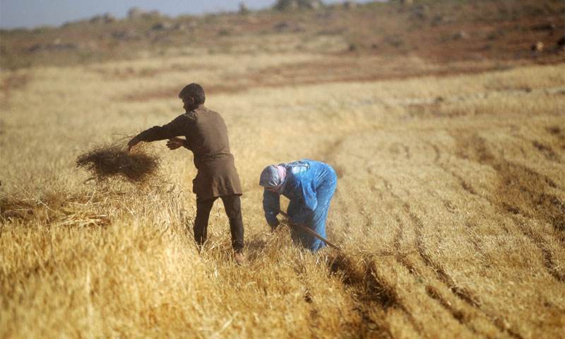 """""""Wheat harvesting in the countryside of Idlib on May 31, 2015. Photo by Khalil Ashawi"""" Reuters"""