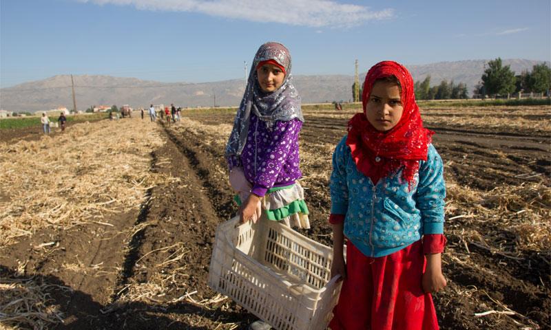 Syrian children working in a Lebanese land (TABITHA ROSS)