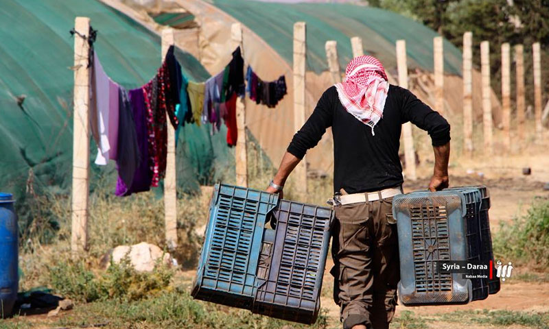 Young man carrying tomato cages during the harvest season in the western countryside of Daraa - December 2017 (Nabaa)