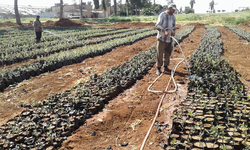 Planting olive trees in the southern plant nurseries – April 14. 2018 (The Plant Nurseries Management's Facebook Page)