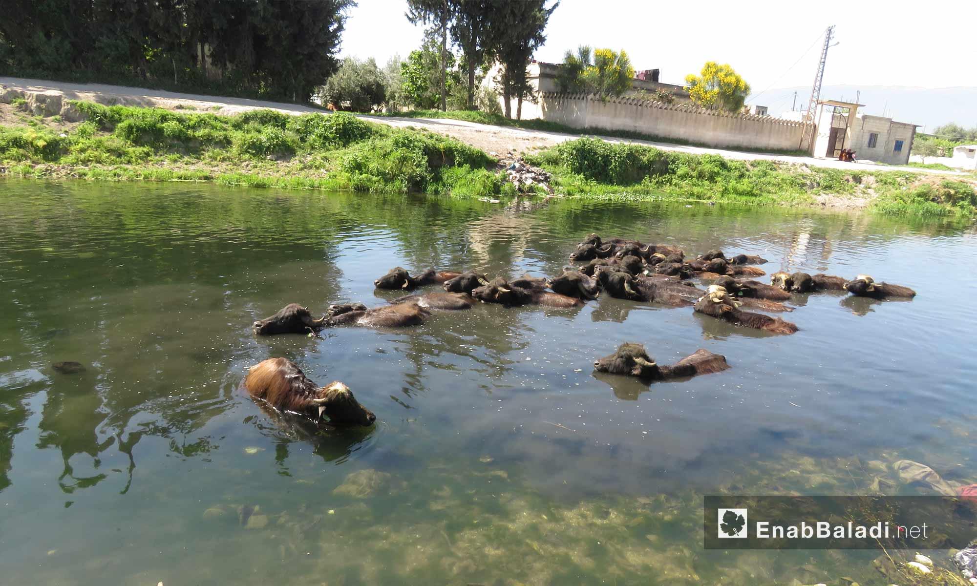 Buffalo Raising in al-Ghab Plain in western Hama- April 9. 2018 (Enab Baladi)