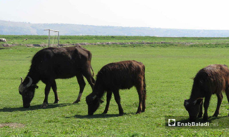 Rearing buffalo in the al-Ghab Plain in the western countryside of Hama – April 9. 2018 (Enab Baladi)