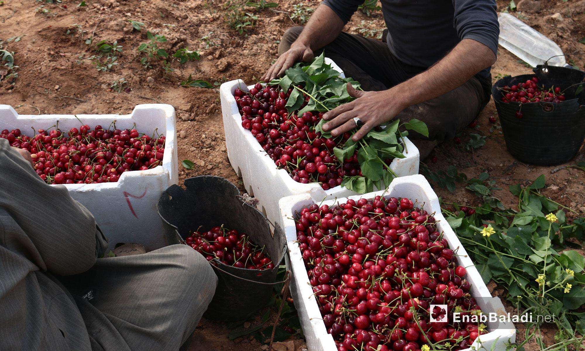 Chery season in the Mount Zāwiya in rural Idlib – May 9. 2018 (Enab Baladi)