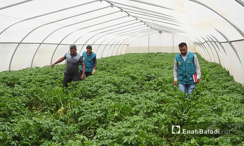Seed multiplication project in rural Aleppo (Enab Baladi)